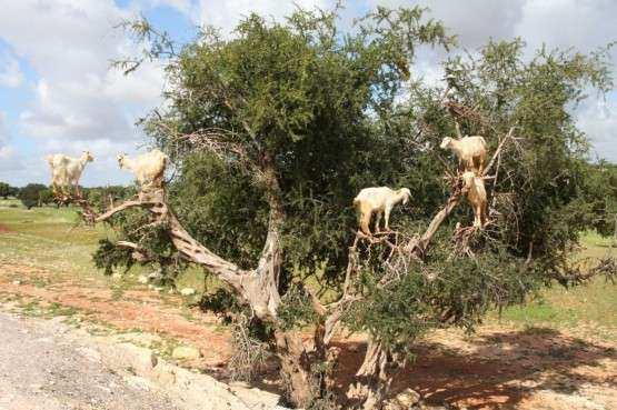 Essaouira cabras