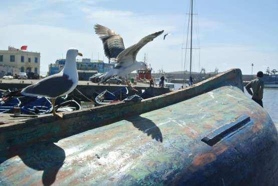 Essaouira gaivotas